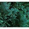 Chamaecyparis lawsoniana 'Allumi' - 3-bol