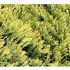 Chamaecyparis lawsoniana 'Allumi Gold' - 3-bol