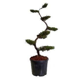 Fleur.nl - Juniperus chinensis 'Kaizuka' - bonsai