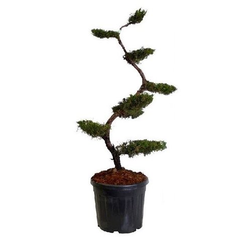 Juniperus chinensis 'Kaizuka' - bonsai