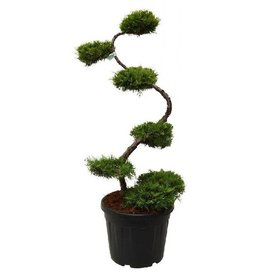 Fleur.nl - Juniperus media 'Pfitzeriana Aurea' - bonsai