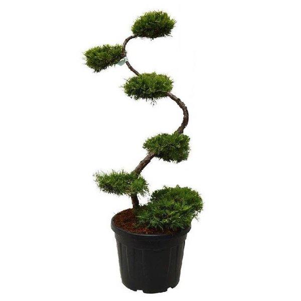 Juniperus media 'Pfitzeriana Aurea' - bonsai