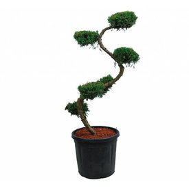 Fleur.nl - Juniperus virginiana 'Grey Owl' - bonsai