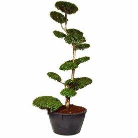 Fleur.nl - Nothofagus antarctica - bonsai