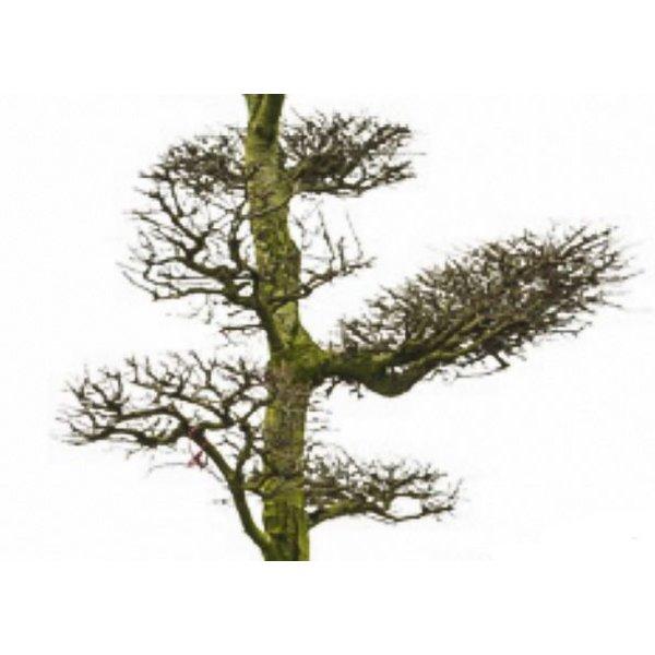 Nothofagus antarctica - bonsai