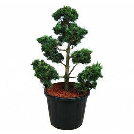 Fleur.nl - Pinus parviflora 'Ryu-ju' - bonsai