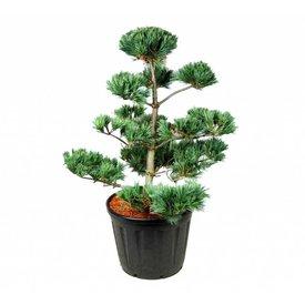 Fleur.nl - Pinus strobus 'Secrest' - bonsai