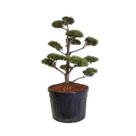 Fleur.nl - Pinus sylvestris - bonsai