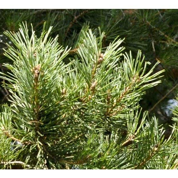 Pinus sylvestris - bonsai
