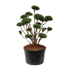 Fleur.nl - Pinus sylvestris 'Watereri' - bonsai