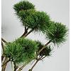 Pinus sylvestris 'Watereri' - bonsai