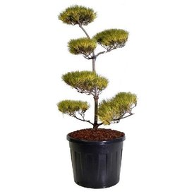 Fleur.nl - Pinus virginiana 'Water Gold' - bonsai