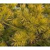 Pinus virginiana 'Water Gold' - bonsai