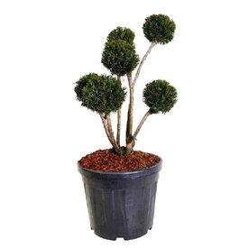 Fleur.nl - Taxus baccata 'Groenland' - bonsai