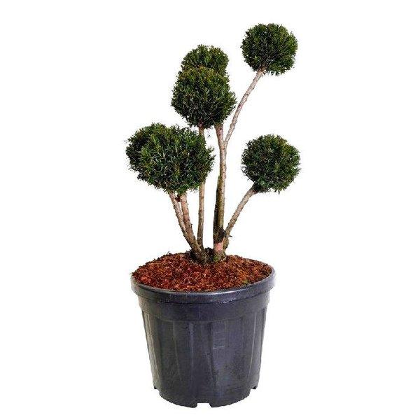 Taxus baccata 'Groenland' - bonsai