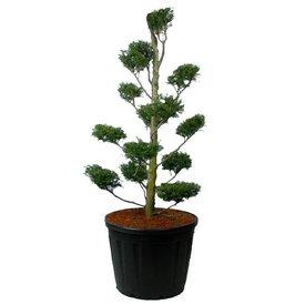 Fleur.nl - Tsuga canadensis 'Pendula' - bonsai