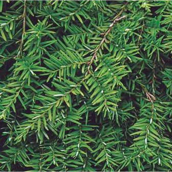 Tsuga canadensis 'Pendula' - bonsai