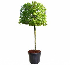 Kubusbomen