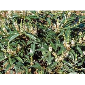 Fleur.nl - Prunus Lusitanica - lei-laurier