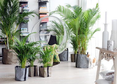 Kamerplanten trend: Palmboom als binnenplant
