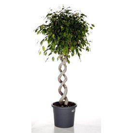 Fleur.nl - Ficus Exotica Twin Spiral large
