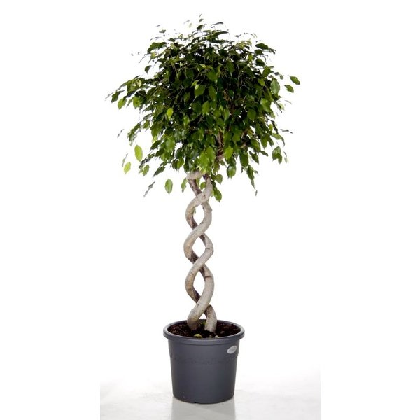 Ficus Exotica Twin Spiral large