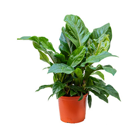 Anthurium Jungle Bush Large