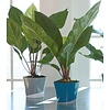 Anthurium Jungle Bush Flamingoplant