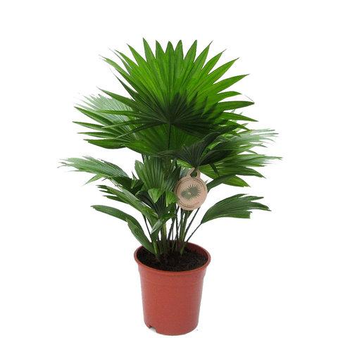 Livistona Rotundifolia Waaierpalm