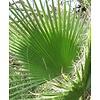 Washingtonia Robusta - Mexicaanse Waaierpalm