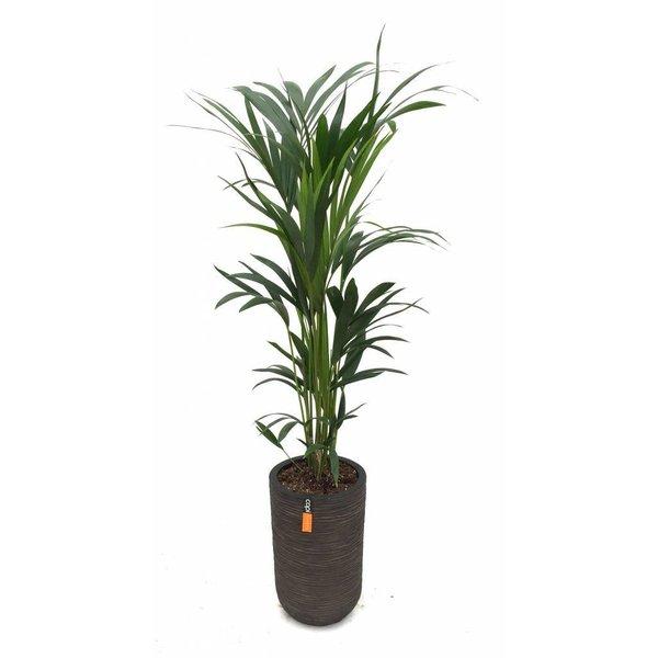 Palm Kentia Howea in pot Capi