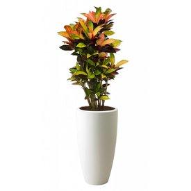 Fleur.nl - Croton Iceton in  pot Elho hoog