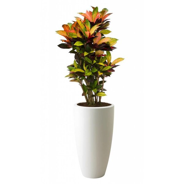 Croton Iceton in pot Elho hoog