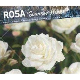 Fleur.nl - Rosa 'Schneewittchen' op stam