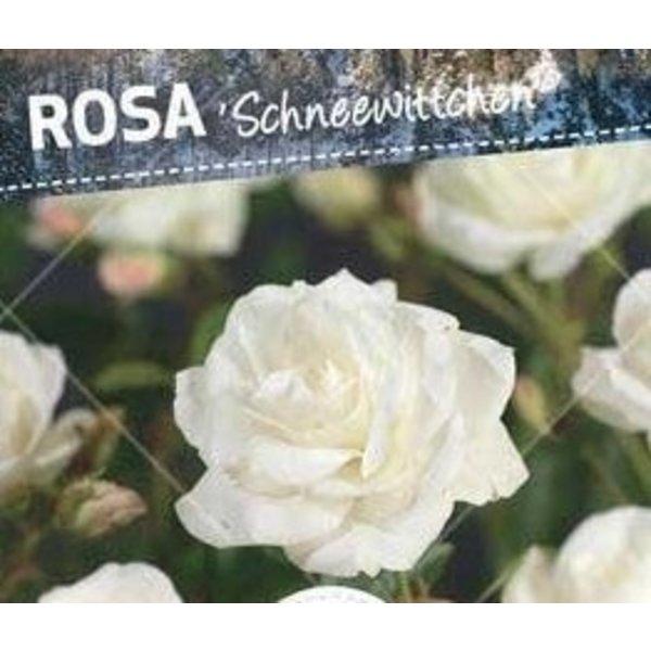 Rosa 'Schneewittchen' op stam
