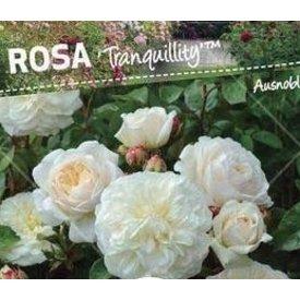 Fleur.nl - Rosa 'Tranquility' op stam