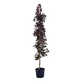 Fleur.nl - Acer platanoides 'Crimson Sentry' - laagstam