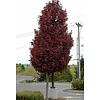 Acer platanoides 'Crimson Sentry' Rode Esdoorn - laagstam