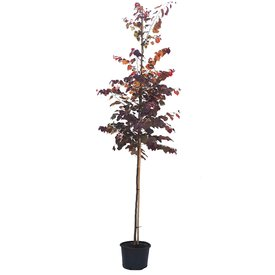 Fleur.nl - Cercis canadensis 'Forest Pansy' Judasboom