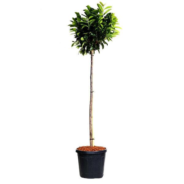 Prunus laurocerasus 'Otto Luyken' op stam