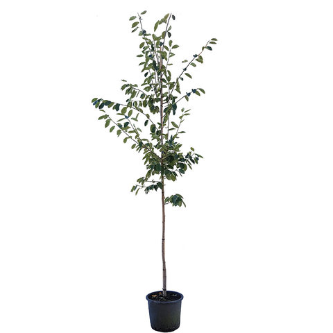 Amelanchier lamarckii - Krentenboom