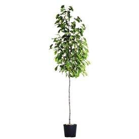 Fleur.nl - Magnolia kobus Beverboom