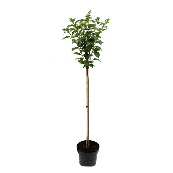 Hydrangea paniculata 'Vanille Fraise' op stam