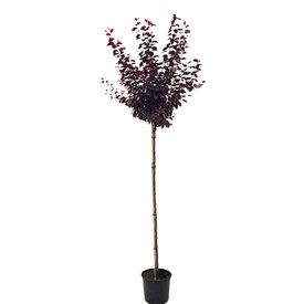 Fleur.nl - Prunus cerasifera 'Nigra' Sierpruim