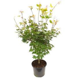 Fleur.nl - Acer palmatum 'Osakazuki'