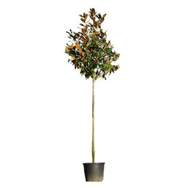 Fleur.nl - Magnolia grandiflora