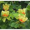Liriodendron tulpifera Tulpenboom
