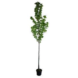 Fleur.nl - Liriodendron tulpifera Tulpenboom