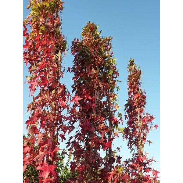 Liquidambar styraciflua Amberboom