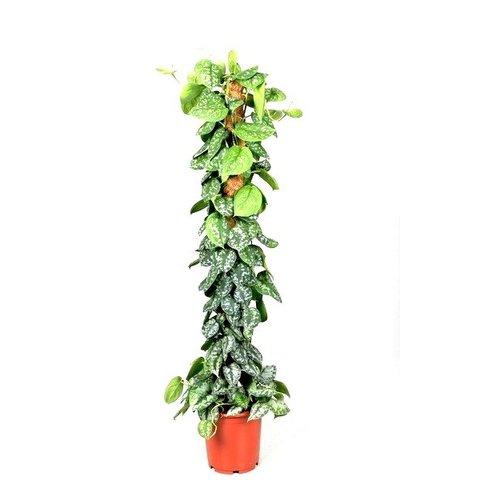 Epipremnum Scindapsus Pictus Trebie
